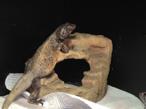 Chuck the Chuckwalla in His BoaMaster